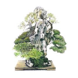 Juniperus chinensis | Paisaje en roca