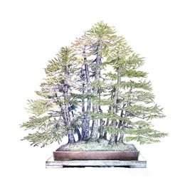 Picea jezoensis | Bosque de Piceas