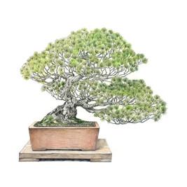 Pinus parviflora | Pino blanco japonés