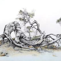 Sabina del Hierro. Juniperus phoenicea spp. turbinata
