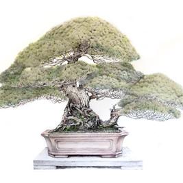 Pinus parviflora var. penthapylla | Pino blanco japonés