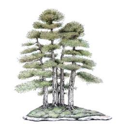 Juniperus thurifera | Bosque de sabinas