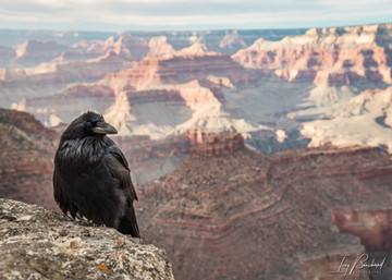 Courageous Crow