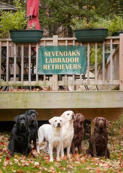 Seven Oaks Labrador Retrievers