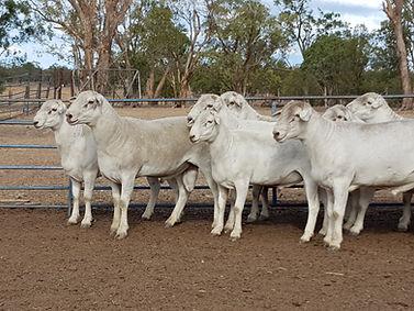 Doonkami Australian Whites