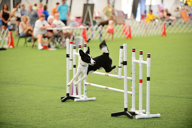Poof, rescue Border Collie, in the agility ring.