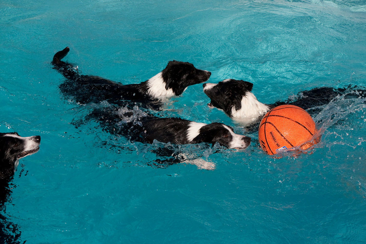 Border Collies Swim