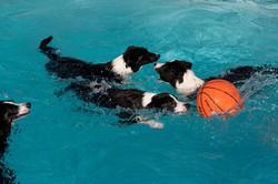 Border Collies Swim