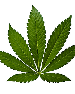 Cannabis indica.png