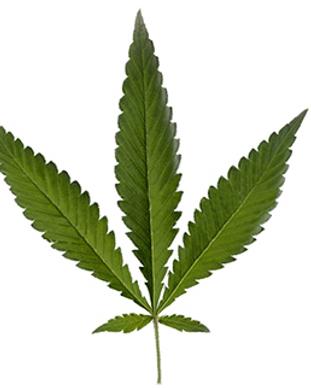 Cannabis Ruderalis.png