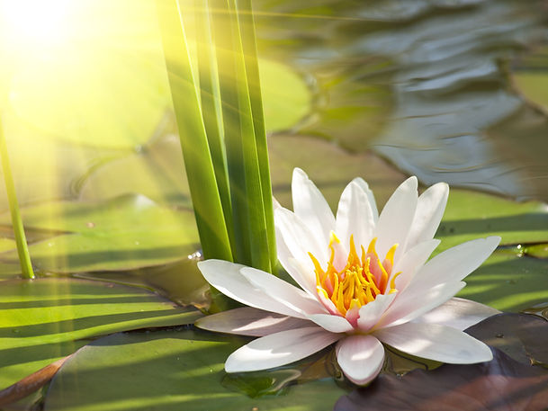 beautiful lotus flower background.jpg