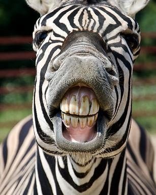 Zebra smile and teeth.jpg