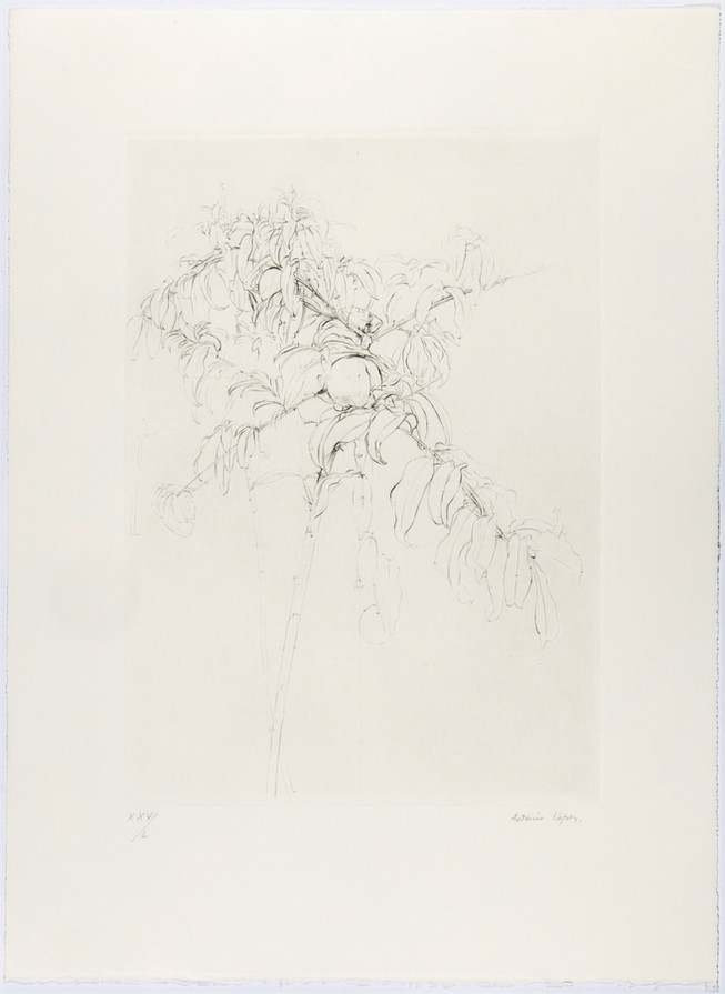 Peach Tree Branch, 2001, Drypoint on chromed zinc plate, BFK Rives paper. Plate mark: 38 x 27 cm, Paper: 55 x 40 cm