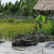 Vietnam - Water buffalo IMG_6607.JPG
