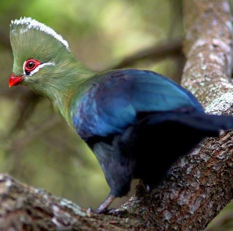iStock_147525077_south_africa_knysna_turaco_bird.jpg