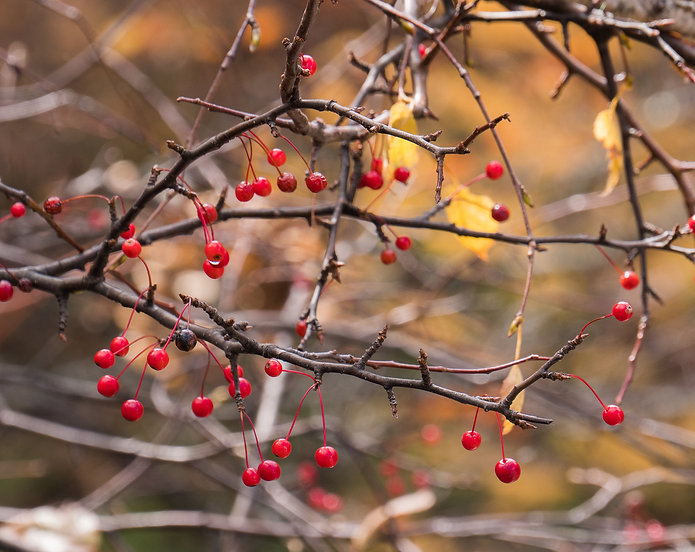 Red berry on branch with a blurred autum