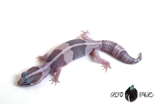 ID# 20F-284 Male 19g