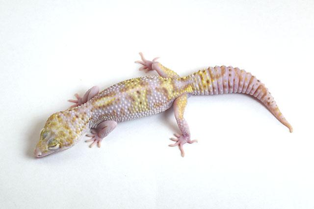 19L-001 Female 40g