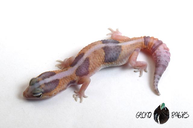ID# 20F-243 Male 10g