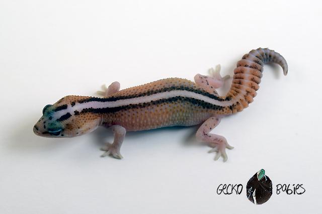 ID# 21F-116 Female 9g