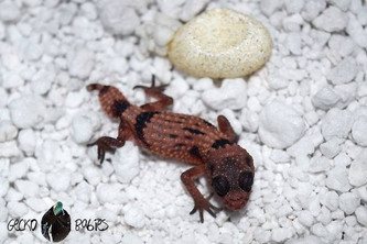 Our First Cinctus Hatchling!