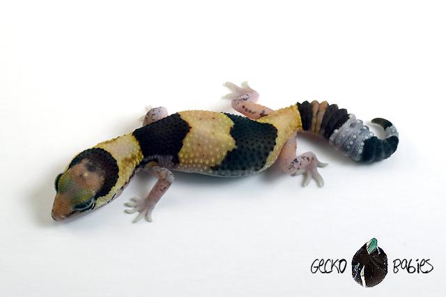 ID# 21F-159 Female 7g