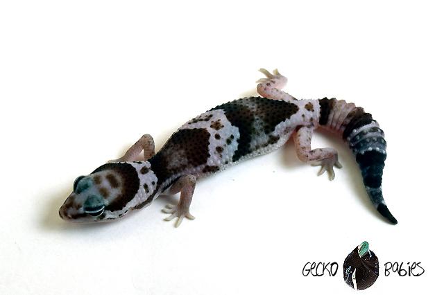 ID# 20F-336 Male 9g