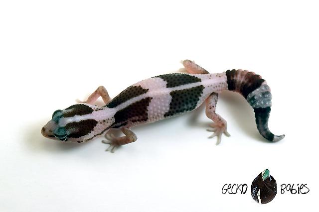 ID# 21F-091 Female 8g