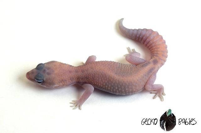 ID# 20F-343 Male 10g