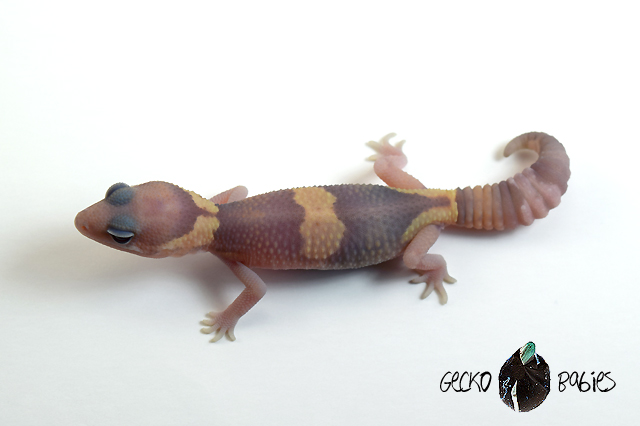 ID# 21F-120 Male 9g