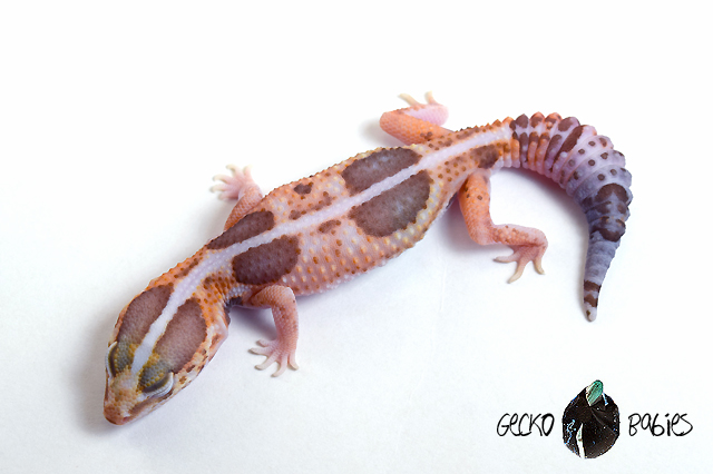 ID# 19F-495 Male 30g