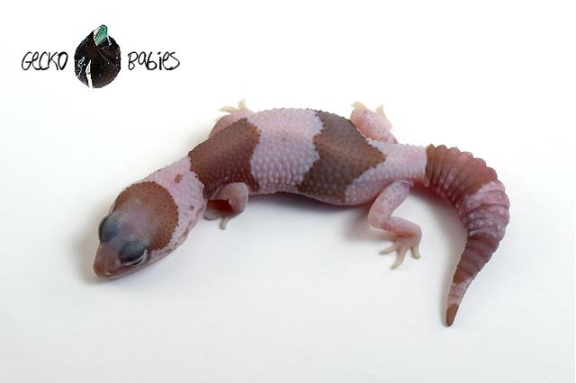 ID# 21F-076 Female 10g