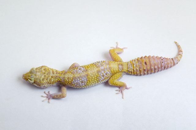 19L-005 Female 43g