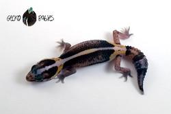 ID# 21F-352 Female 7g
