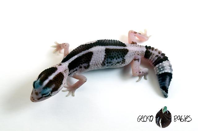 ID# 21F-052 Female 9g