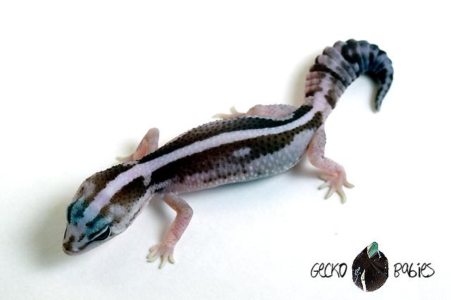 ID# 20F-253 Male 10g