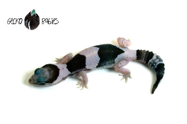 ID# 20F-224 Female 15g