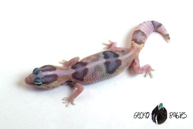 ID# 20F-302 Male 12g