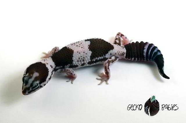 ID# 20F-353 Female 17g