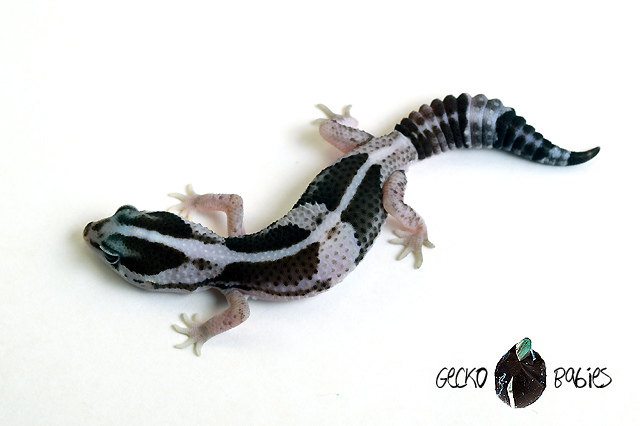 ID# 20F-307 Male 12g