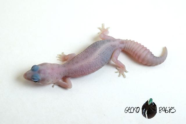 ID# 20F-339 Male 10g