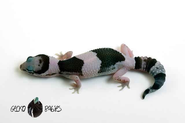 ID# 21F-103 Female 8g