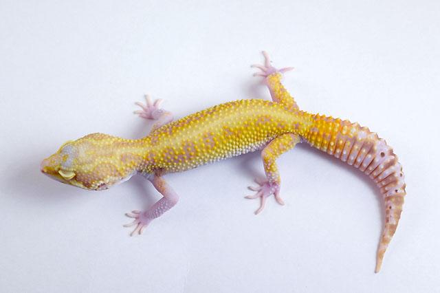20L-010 Female 31g
