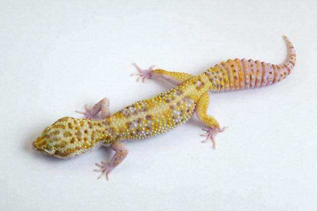 19L-004 Female 43g