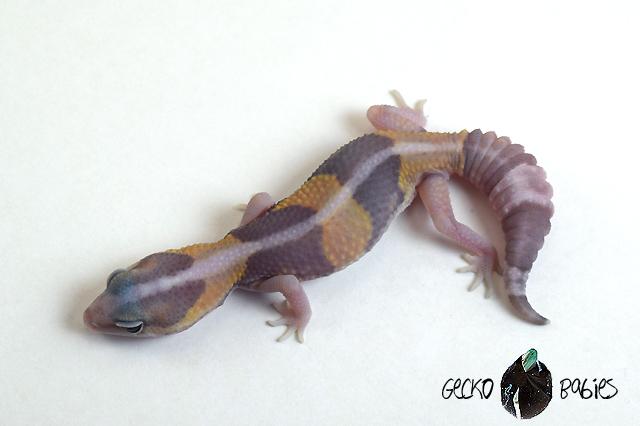 ID# 20F-306 Male 14g