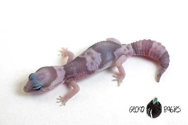 ID# 20F-384 Male 9g
