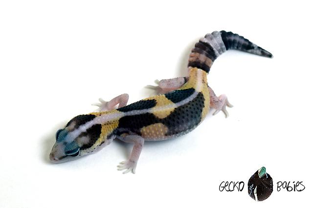 ID# 20F-170 Female 10g