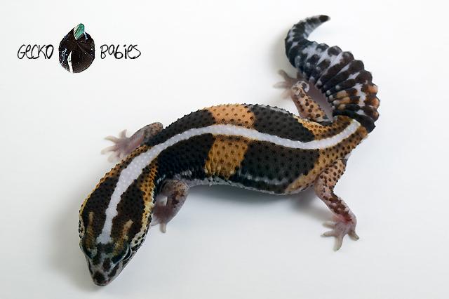 ID# 20F-146 Female 28g