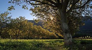 Large tree in meadow - spring.jpg