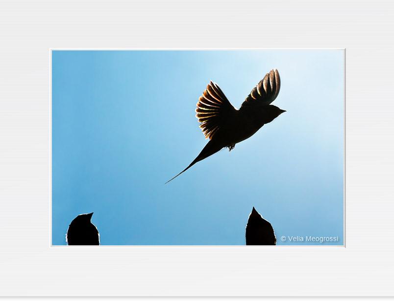 Swallow - IV